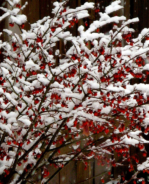 Burning Bush with snow