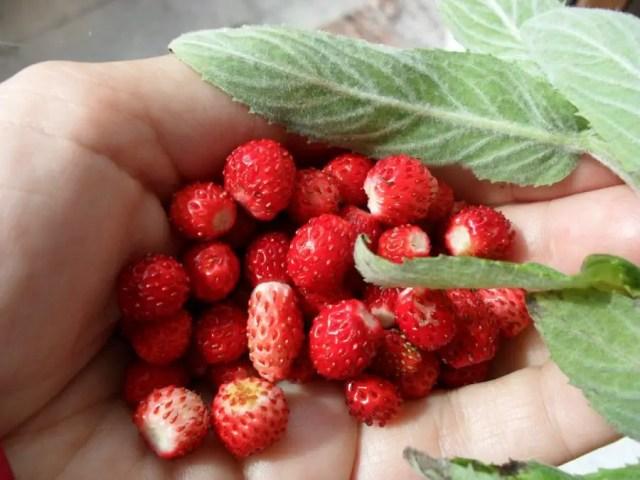 fruit pluk tuin nederland