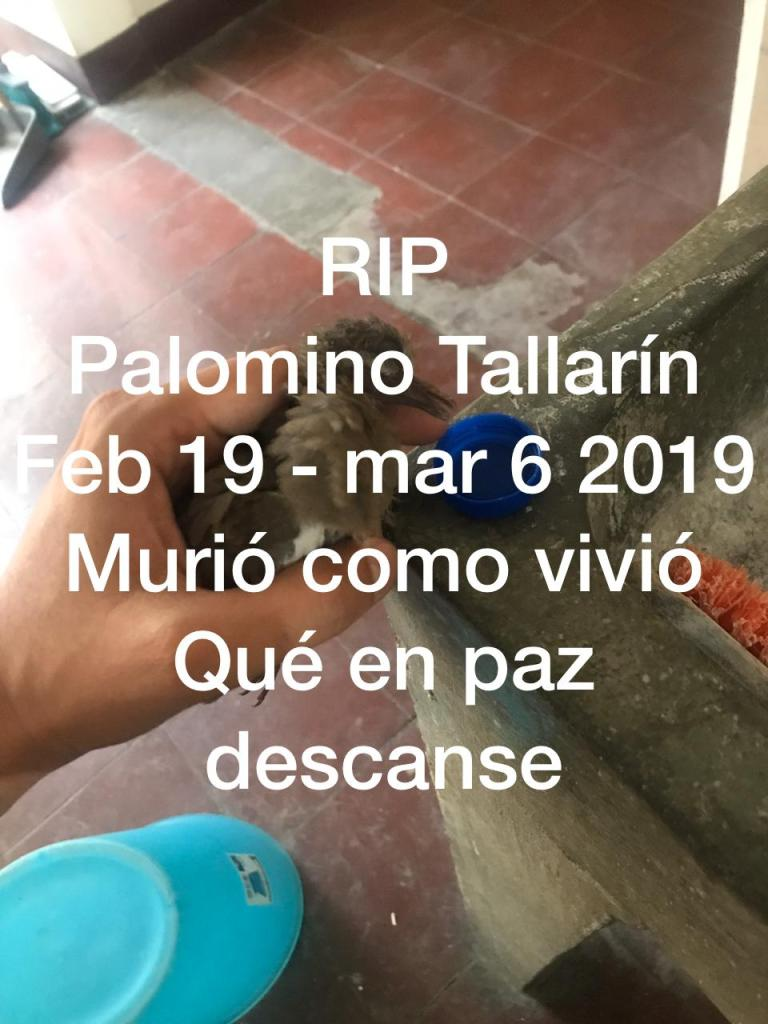 Palomino Tallarin RIP