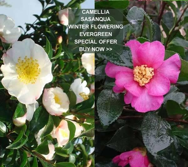 Winter Flowering Shrubs Samyysandra Com