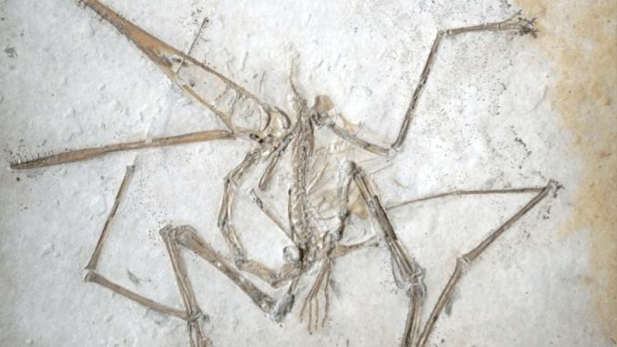 Holotype specimen of Pterodactylus antiquus