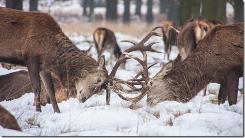 Lutte de pouvoir, laissons ça au animaux (photo de Ming Jun Tan)