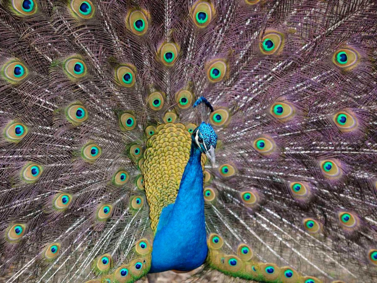 Emotional Support and Why You Need a Peacock