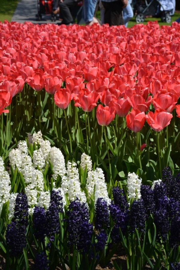 parc de Keukenhof avec des enfants champs de tulipes