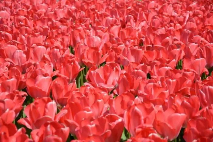 Découvrez plus beau parc printanier du monde : Kukenhof aux Pays-Bas !kukenhof,paysbas,holland,fleur, tulipe,parc,parcprintanier,famille,sortie,promenade,canaux,moulinthumb_DSC_0152_1024