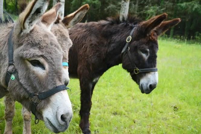 2 ânes dans un champs