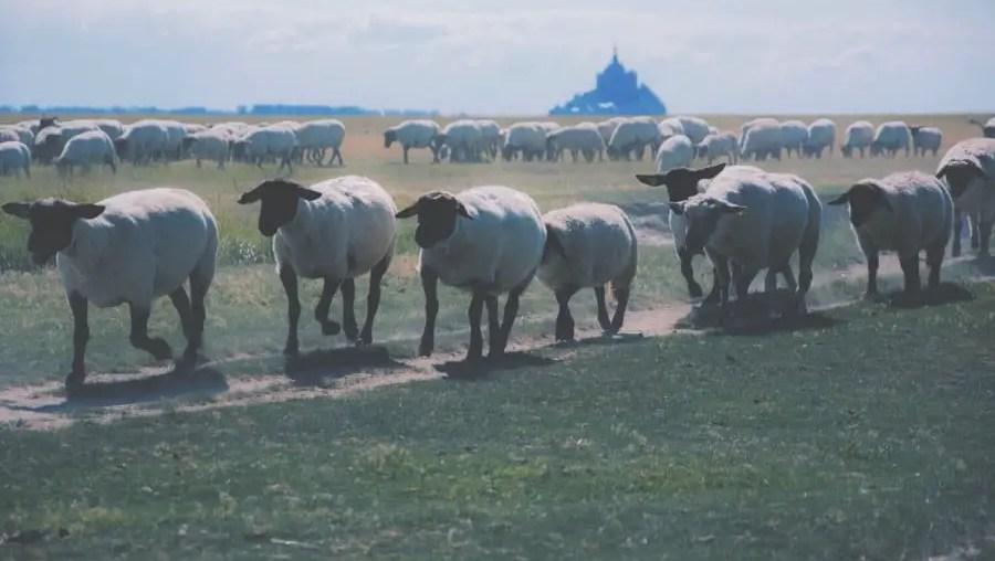 que visiter au mont saint michel et sa baie 1et ses moutons présalés