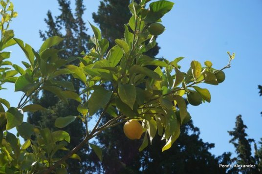 corfu-club-lemon-tree
