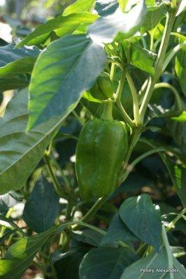 corfu-club-peppers