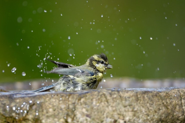 Building a bird bath in the garden Ray Kennedy (rspb-images.com)