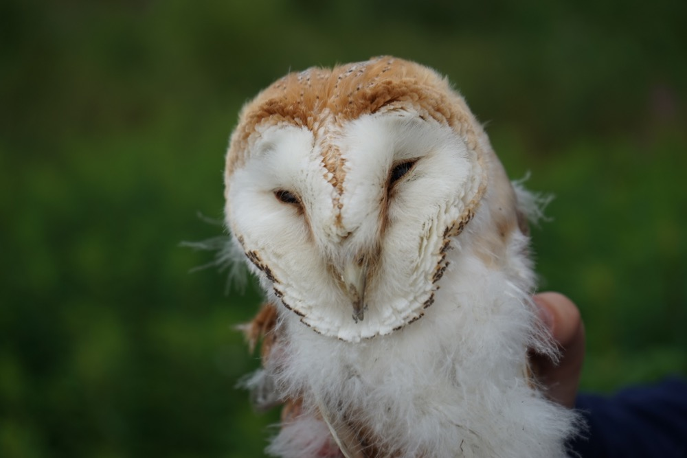 Barn Owl parentshaped.co.uk
