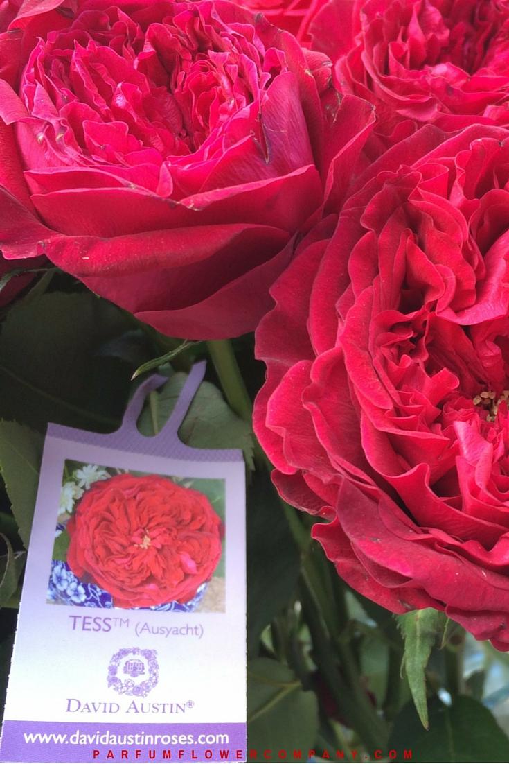 David Austin Wedding Rose Tess Parfum Flower Company
