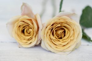 New Rose Introductions From Tambuzi Parfum Flower Company