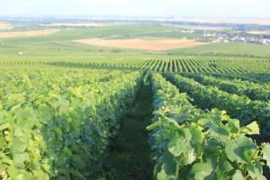 vigne sentier du vigneron