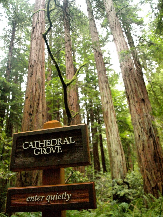 Cathedral Grove - Muir Woods National Monument
