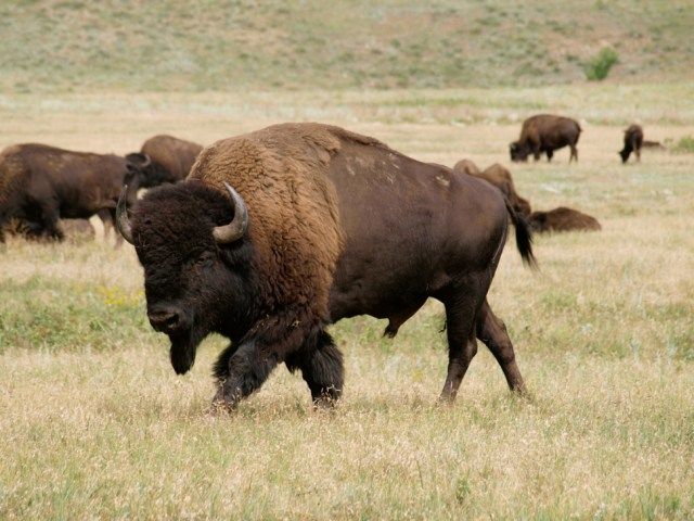 American Bison can be found in national parks like Yellowstone