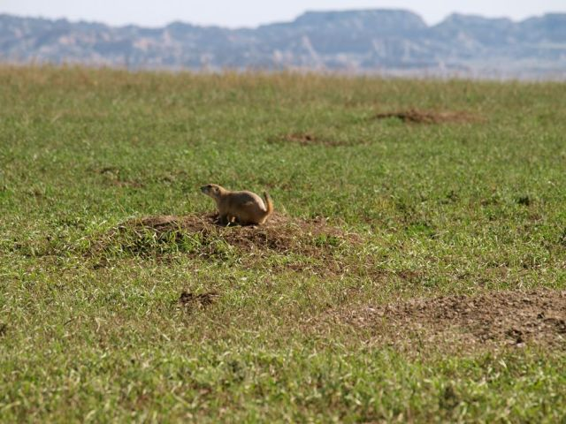 Badlands Prairie Dog