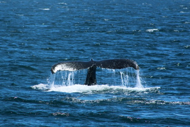 Humpback Whale Fluke - Olympic National Park