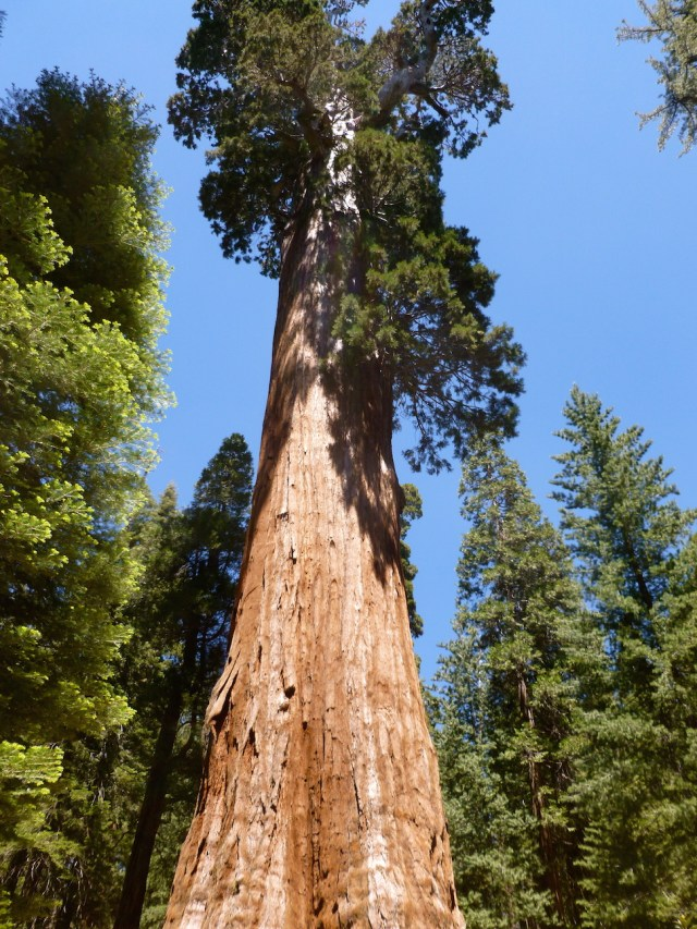 Sequoia Tree - in Sequoia National Park, one of 14 National Parks with Big Trees
