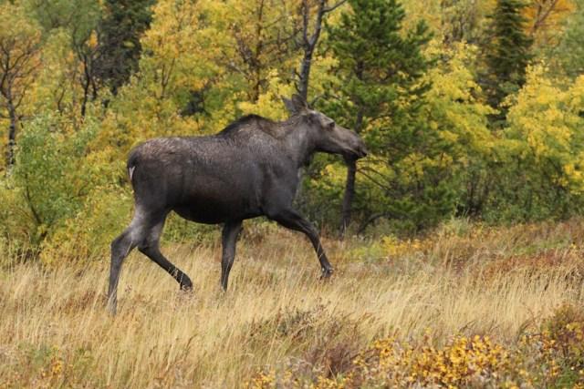 Moose in Glacier National Park - Many Glacier Road