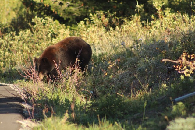 Black Bear - Waterton National Park