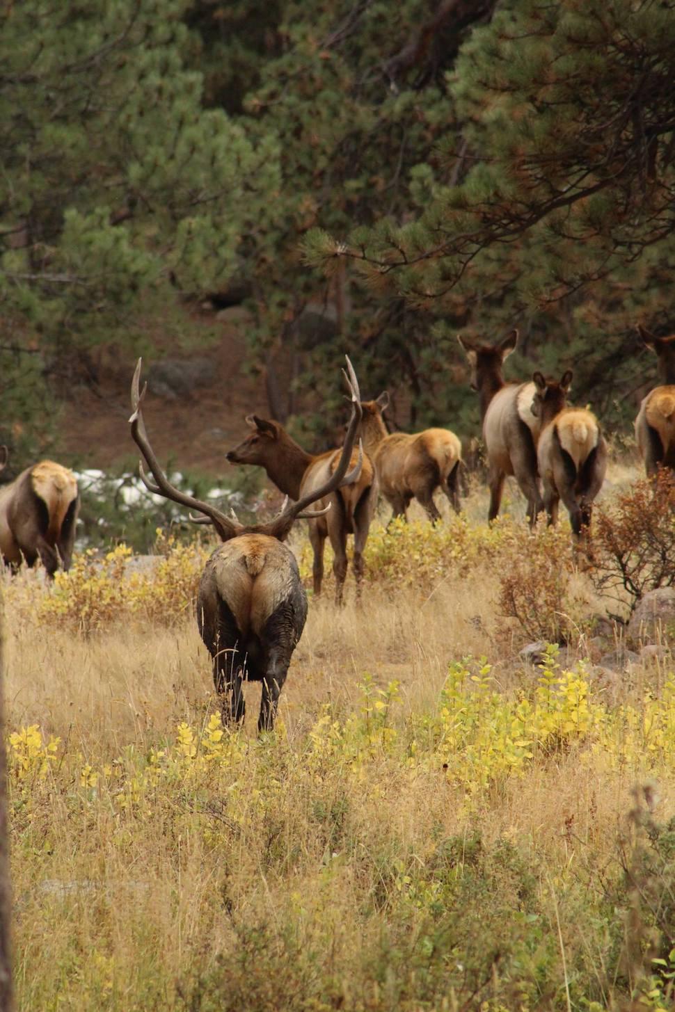 Bull Elk in Rocky Mountain National Park
