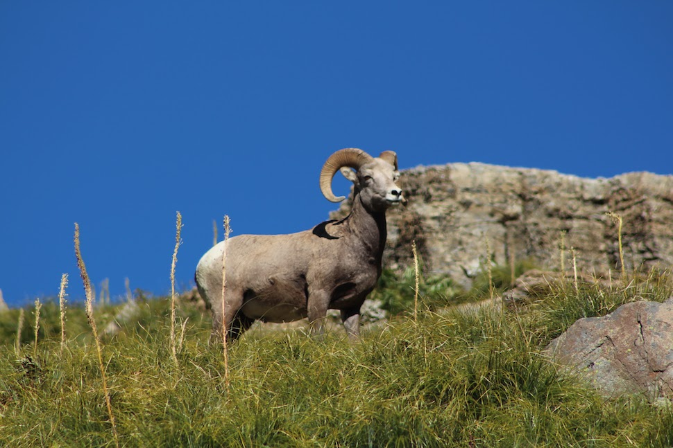 Big Horn Sheep at Haystack Pass in Glacier National Park