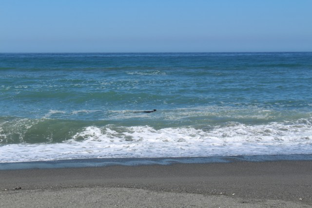 A seal swimming along the shore at Gold Bluff's Beach - Redwood National Park