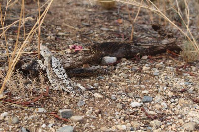 Lizard in Saguaro National Park