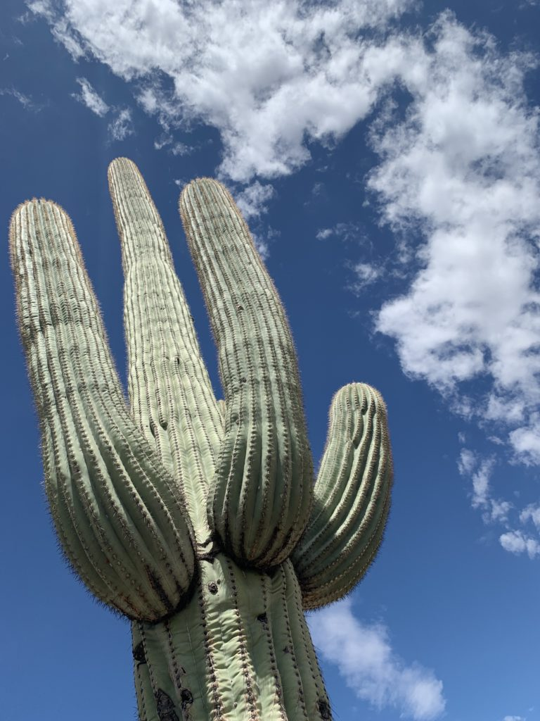Large saguaro cactus set against a blue sky