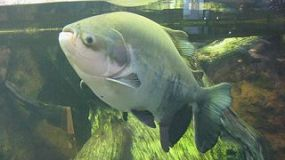 pacu found in parkers bingham lake