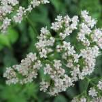 fiori di valeriana