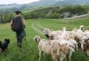 Sivizzano pastori a 20 anni tra passione per il lavoro e invadenza del lupo