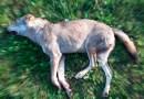 Un lupo travolto da un auto a Collecchio TG canale 88 ore 19