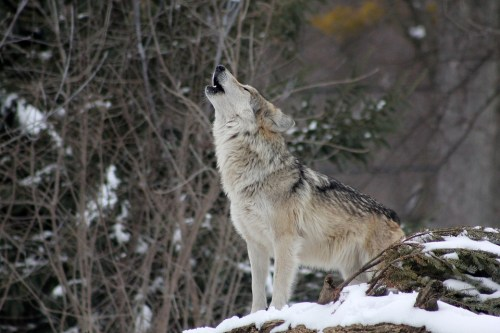 wolf howling--nelle foreste casentinesi-lupo