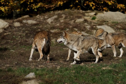 wolf howling nelle foreste casentinesi-lupo-italico