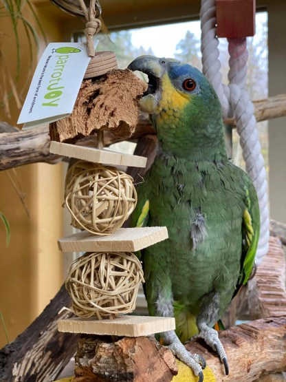 amazon parrot playing with cork bird toy
