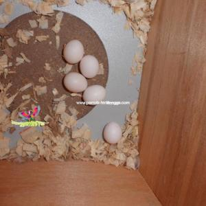 Macaw Bird Eggs
