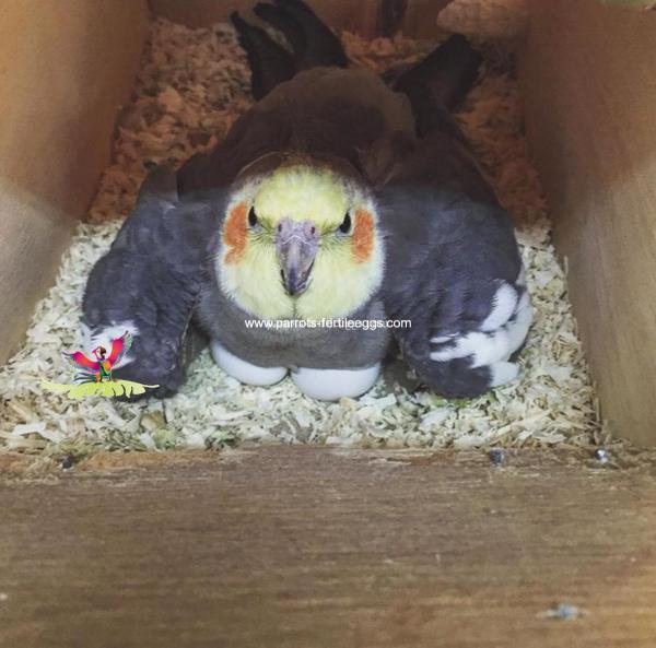Cockatoo fertile eggs
