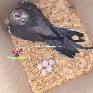 cockatoo eggs