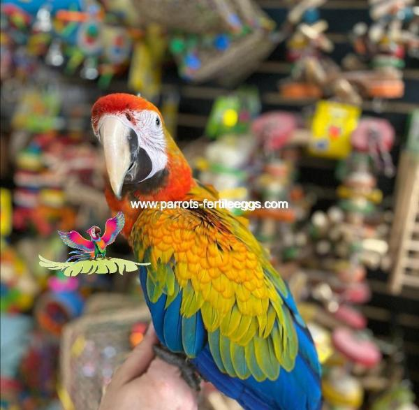 Yellow Dominant Camelot Macaw baby