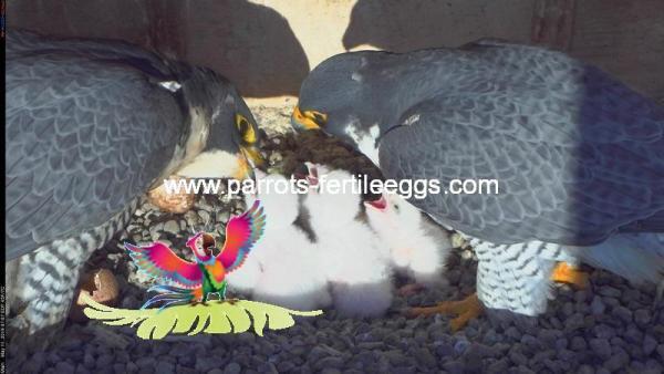 falcon egg for sale