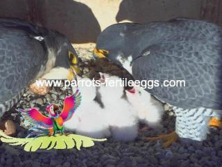 falcon egg for sale