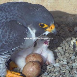 falcon egg for sale usa