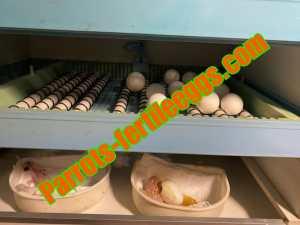 Parrots Fertile Eggs
