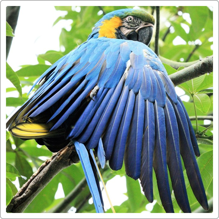 Golden blue macaw parrot sitting on high tree with green leaves and showing its beautiful unclipped wings