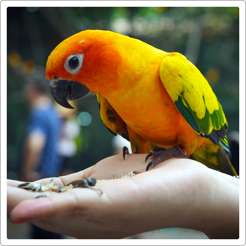 Tamed Golden sun corn parrot eating sunflower seeds on hand