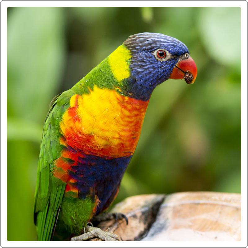 Beautiful rainbow parrot eating seeds