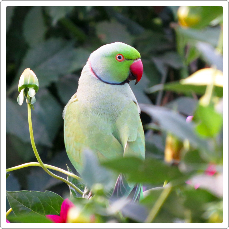 male ring neck parrot