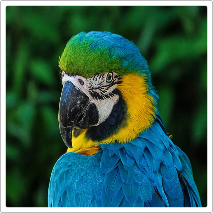 blue-and-yellow macaw head pose close up